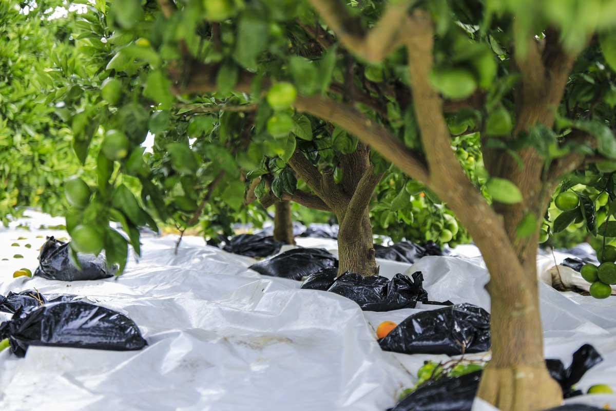 みかんの木の間隔を空けて植え方をそろえる