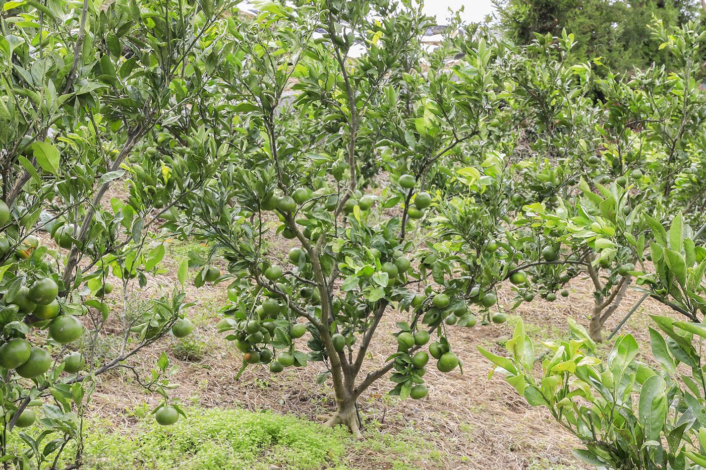樹齢5〜6年の若い木