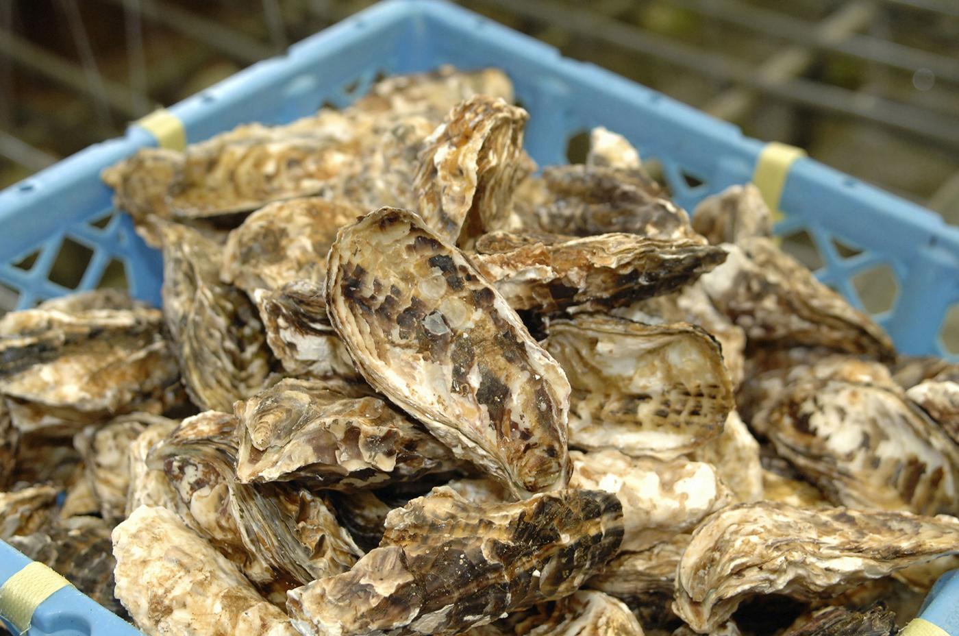 牡蠣殻や塩抜きした海藻