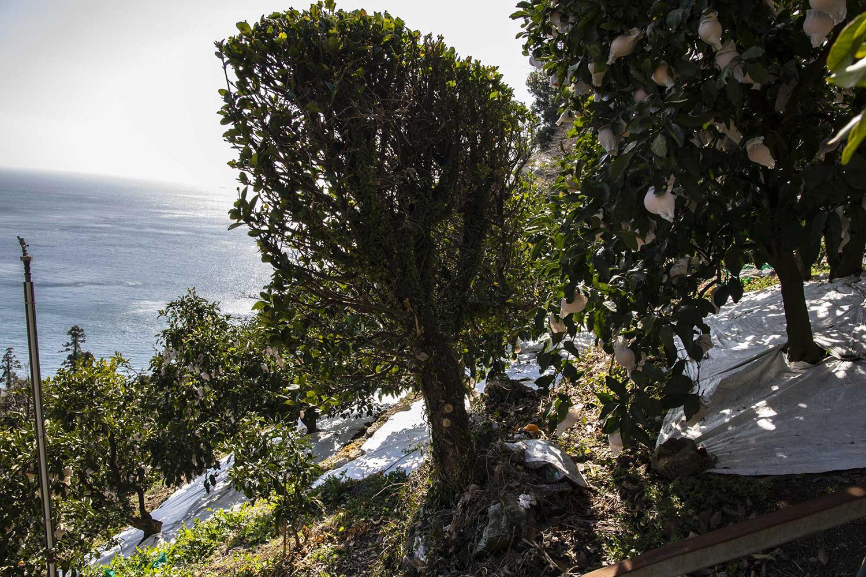 海側に立つのが防風用の木