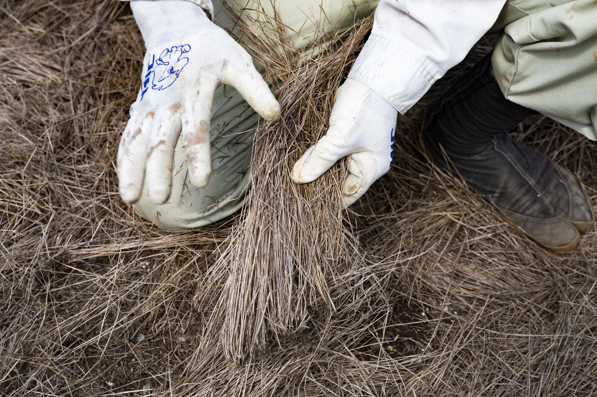 畑に敷き詰められているナギナタガヤ