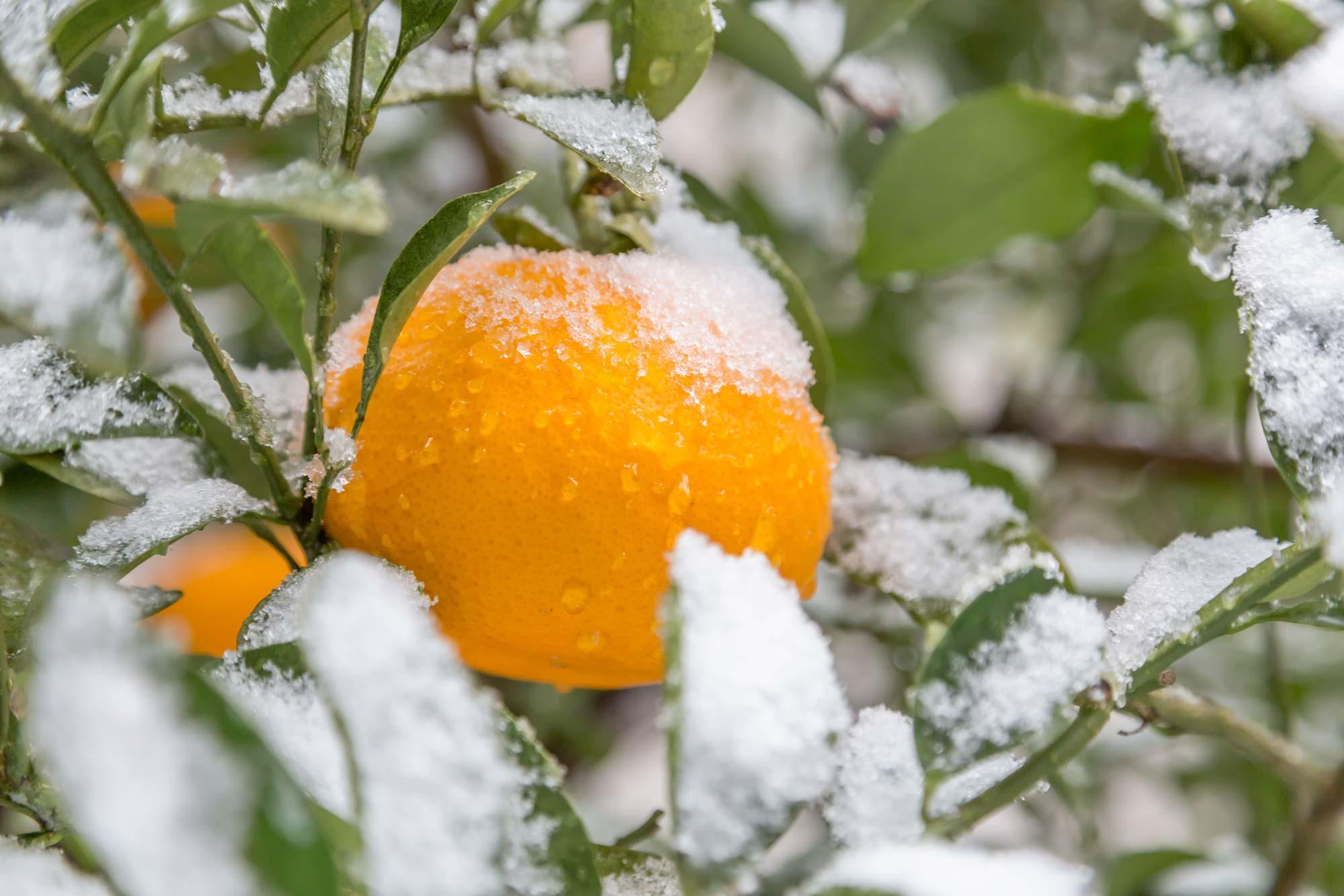 雪とかんきつ