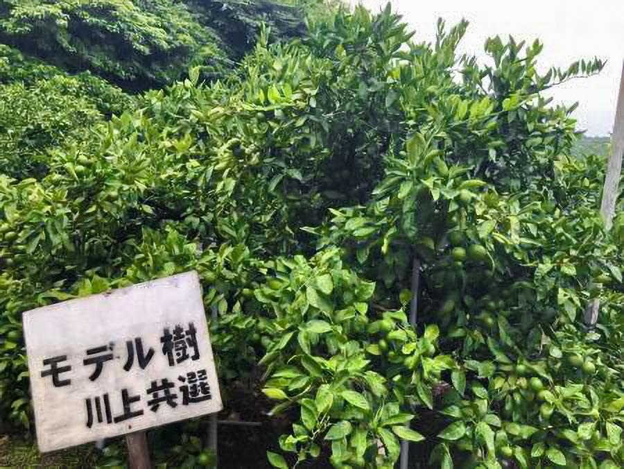 摘果のモデル樹